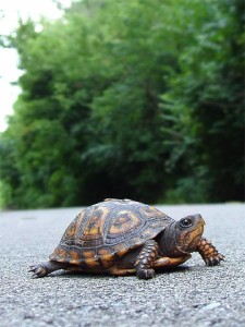 turtle640-225x300