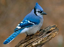 blue_jay_glamour
